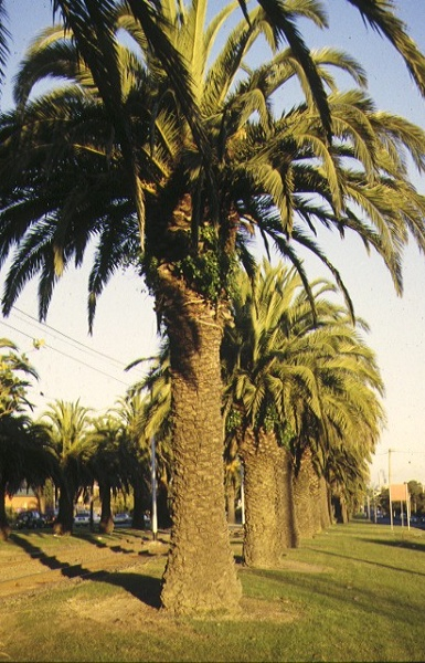 1 canary island date palm avenue mount alexander road essendon detail view