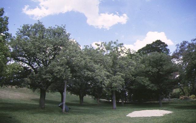 1 connacks valonia oak plantation elliot street castlemaine oak detail nov1997