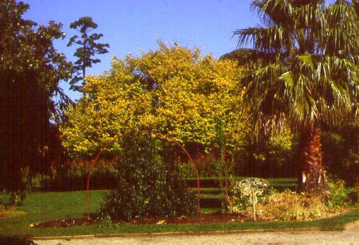 williamstown botanic gardens golden elm lawn ac2 apr1999