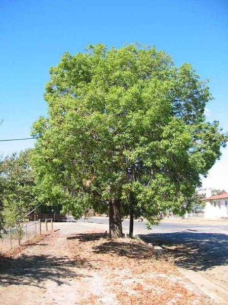 h02061 measured tree 1