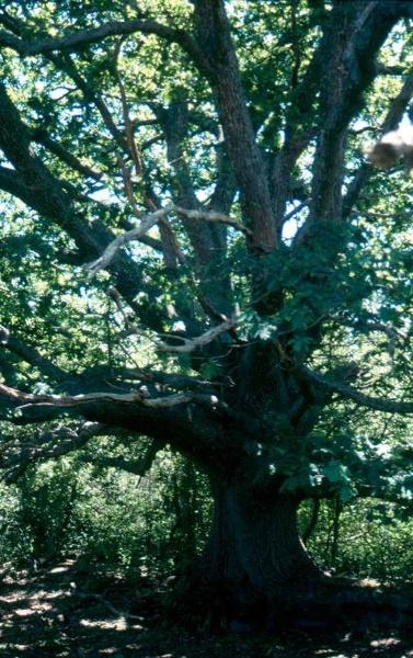 h00070 h0070 riddellscreeknursery white oak