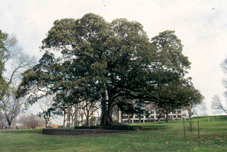 Flagstaff Gardens Fig Tree and Stage