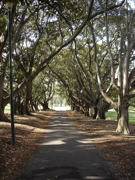 fawkner park moreton bay fig tree avenue apr07 jmb