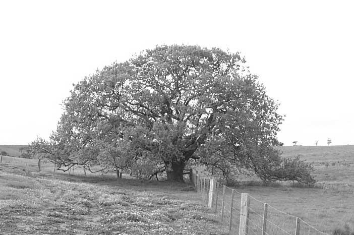 Oak Tree near Yangardook Creek