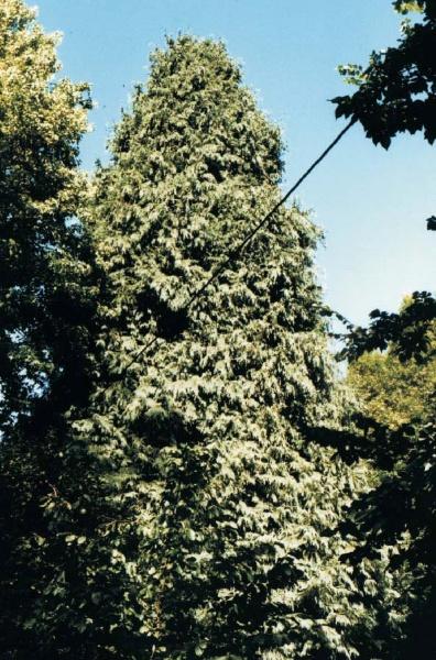 Lawson False Cypress at Verlys