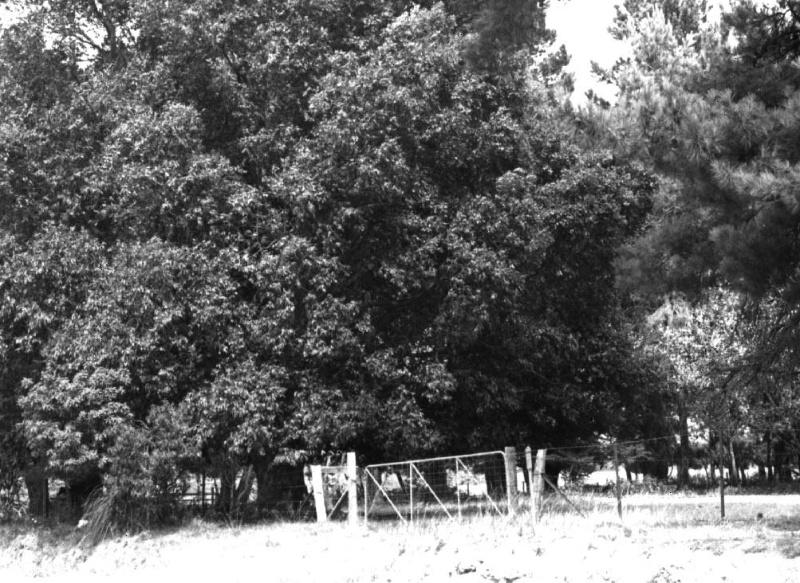 Waterhousea Floribunda - Pines