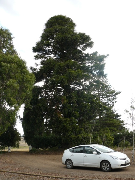 Araucaria bidwillii, located at the entrance to the driveway from the garden