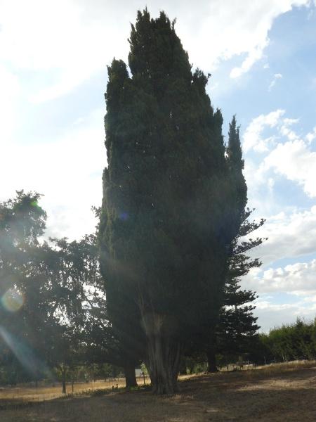 Cupressus semprevirens driveway, Old Strathkellar