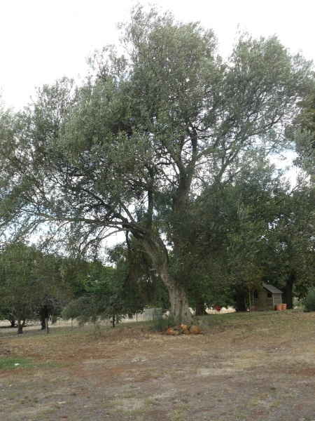 Olea europea Supsp. Europea (remaining one of two), located immediately east of new house