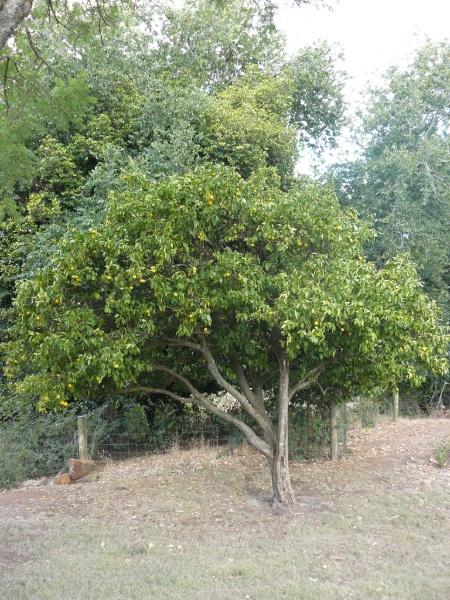 Citrus aurantium (unknown cultivar), Old Strathkellar