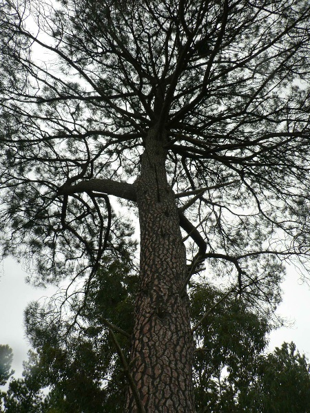 Pinus located within Staffordshire Reef Cemetery Donald McLeans Rd