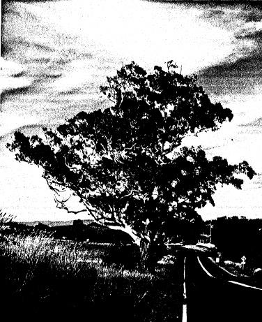 60 - Remnant Manna Gum on Roadside Eltham Yarra Glen Rd - Shire of Eltham Heritage Study 1992