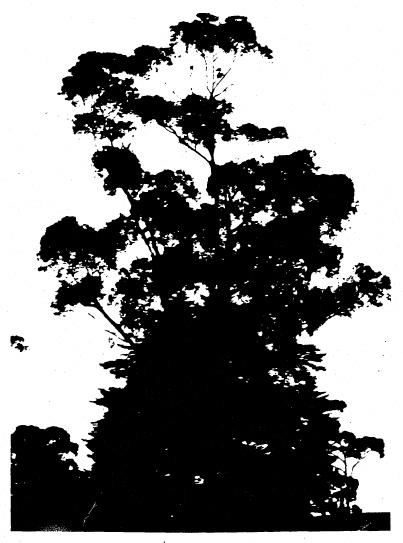 66 - Eucalyptus cladocalyx Eltham Yarra Glen Rd - Shire of Eltham Heritage Study 1992