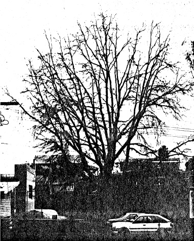 71 - Pin Oak Tree at Eltham High School Ely St - Shire of Eltham Heritage Study 1992