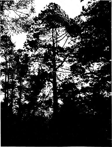 83 - Canary Island Pine Tree at Hurstbridge Pre School - Shire of Eltham Heritage Study 1992