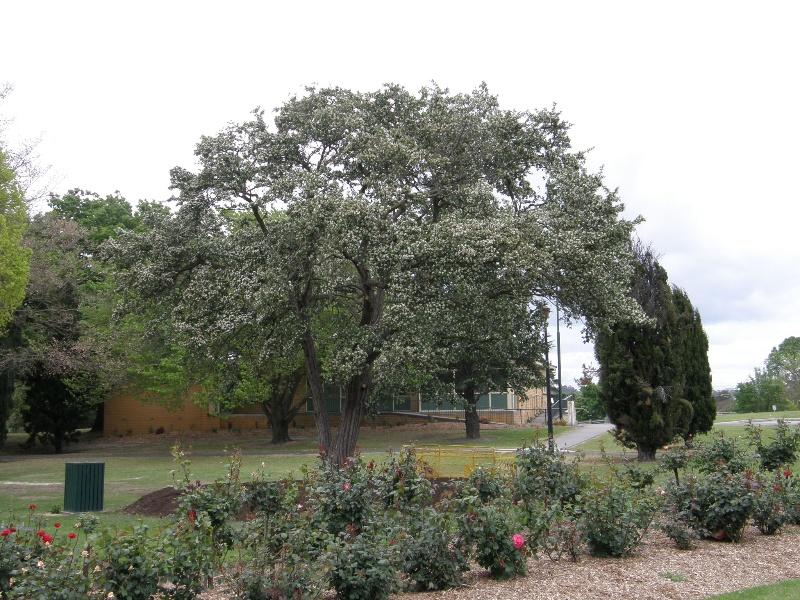 Azarole tree
