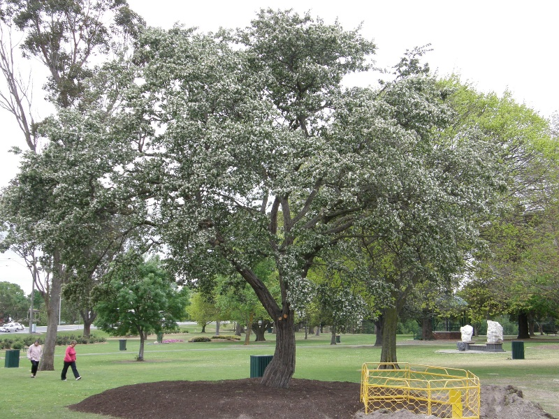 1_Azarole tree replanted in Victory Park