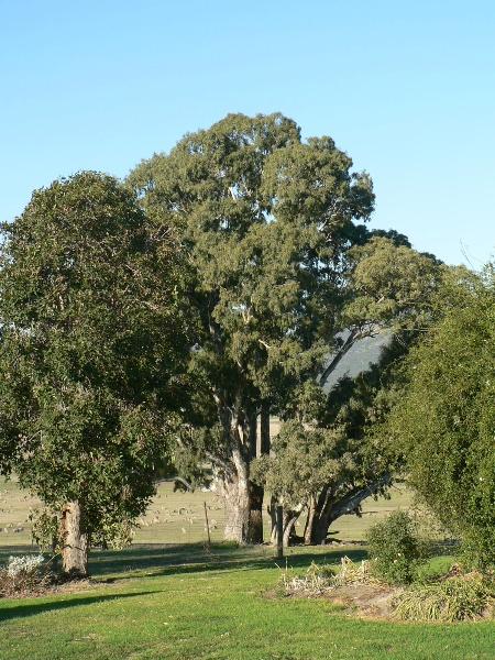 23406 Barra Head Homestead Mirranatwa remnant trees 867