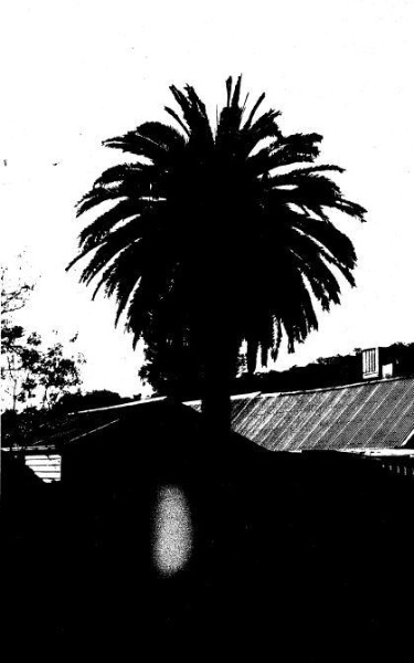 166 - St Andrews Hotel Palm KangGround St Andrews Rd 06 - Canary Island Palm - Shire of Eltham Heritage Study 1992
