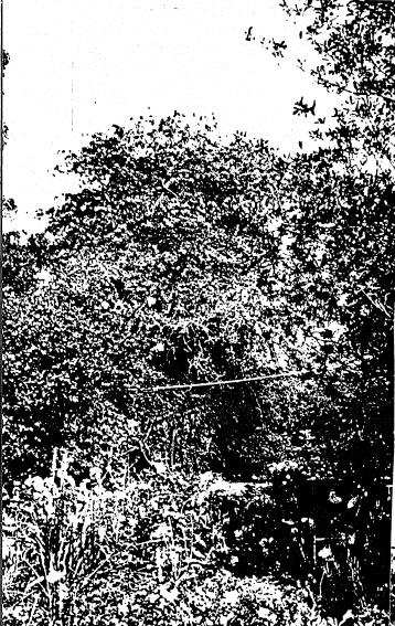 268 - Sweeneys Cottage Eltham 16 - 100 year old pear tree - Shire of Eltham Heritage Study 1992