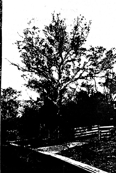 268 - Sweeneys Cottage Eltham 17 - 100 year old apple tree - Shire of Eltham Heritage Study 1992