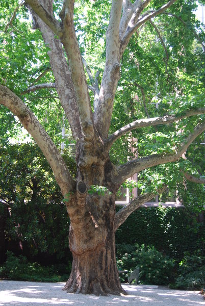 London Plane Tree, Melbourne Club Garden, North end.