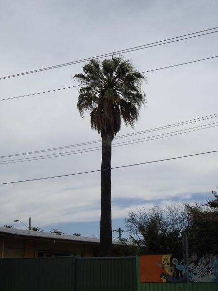 HO95 - Washingtonia Palm, Rear 400-406 Barkly Street, Footscray.JPG