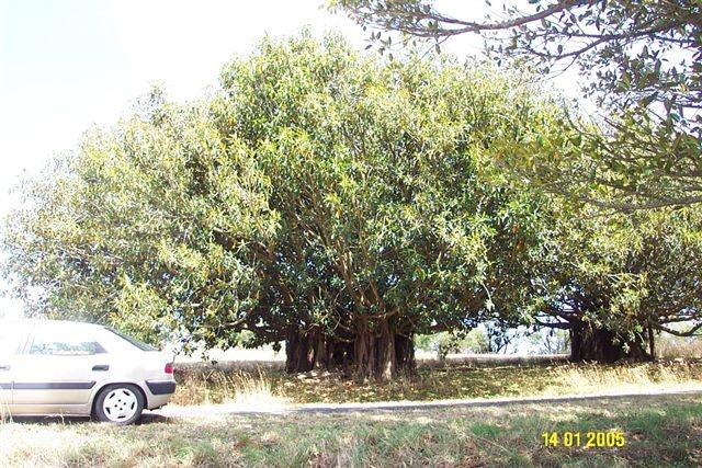 Fig Trees in Avenue of Honour, Drik Drik