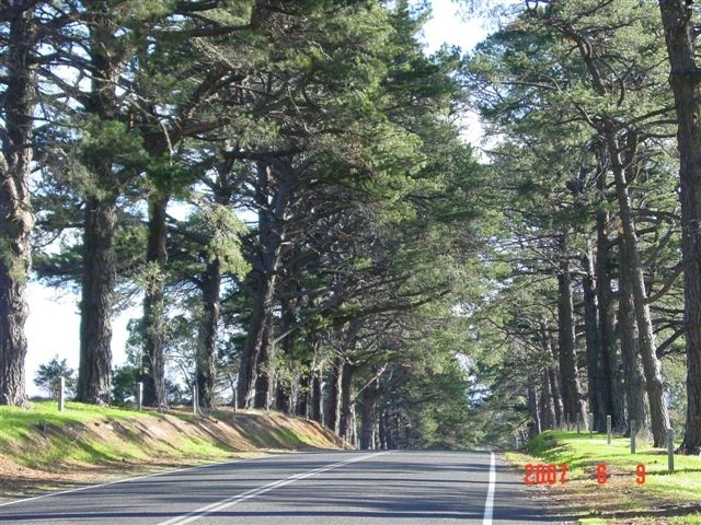 T11278 Monterey Pine Avenue of Honour