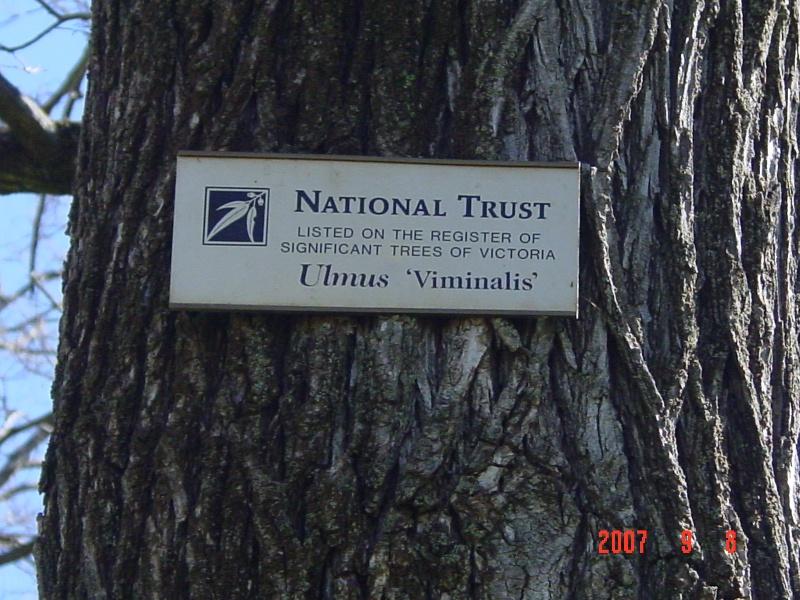 T11363 Ulmus 'Viminalis'