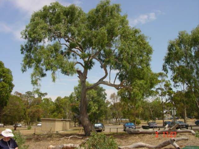eucalyptus camaldulensis medicinal uses pdf