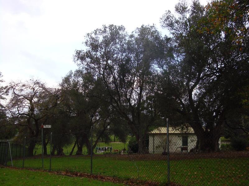 T11579 Olea europaea subsp. europaea