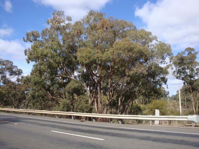 T11161 Eucalyptus melliodora