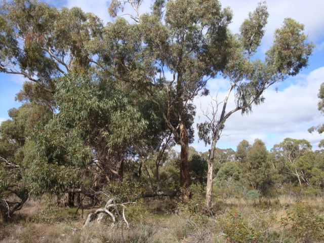 T11161 Eucalyptus melliodora western tree