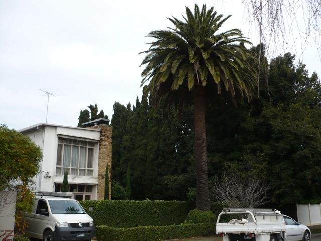 Glenunga showing Canary Island Palm