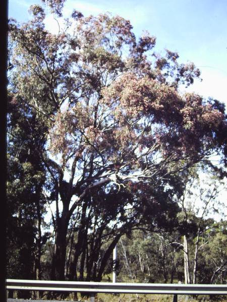 T11161 Eucalptus melliodora flower
