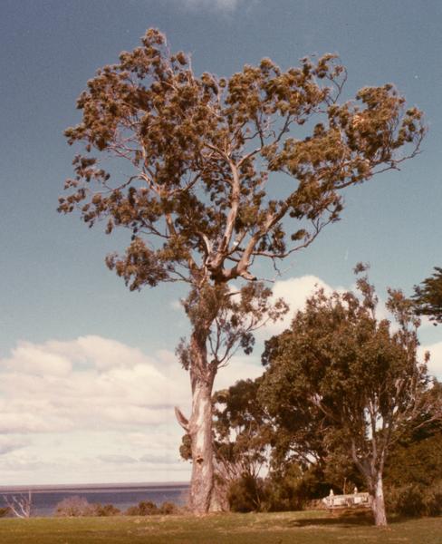 T11279 Eucalyptus tereticornis