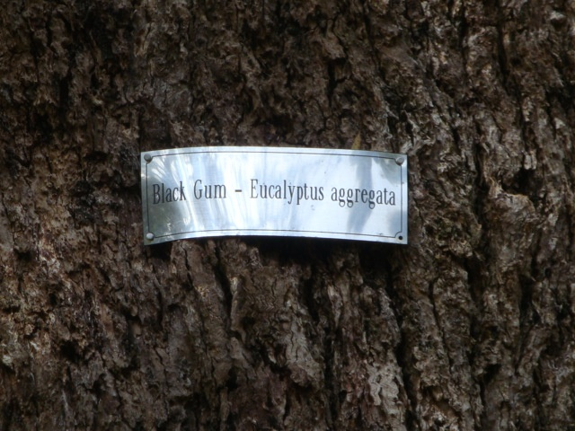 T11996 Eucalyptus aggregata sign