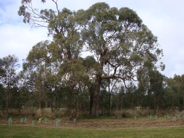 T11996 Eucalyptus aggregata