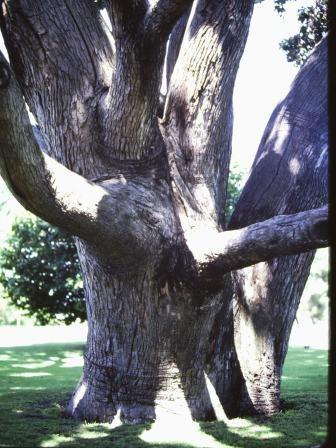 T11000 Corymbia ficifolia