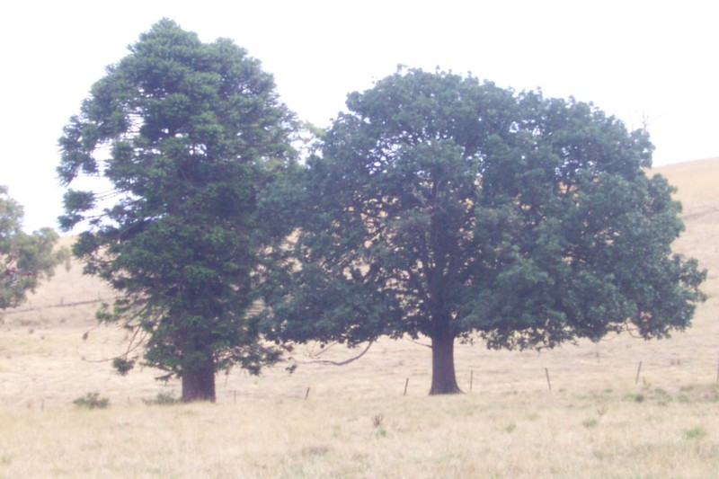 Algerian Oak and Bunya Bunya Pine