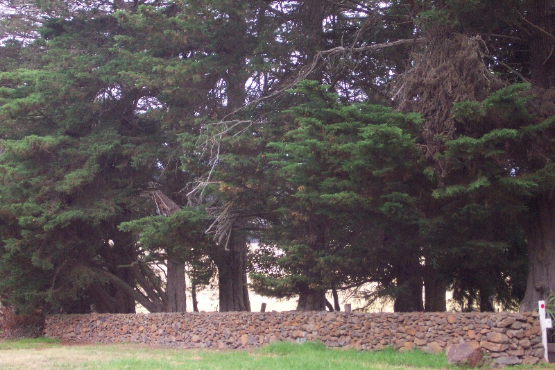 Monterey Pines and drystone wall