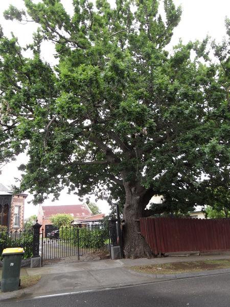Oak, 23 Brown Avenue