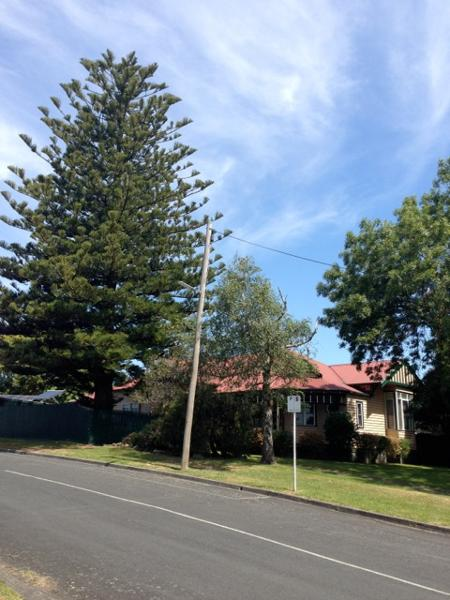 Norfolk Island Pine, 14 Bridge St