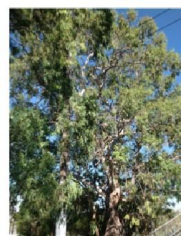 T12279 Eucalyptus camaldulensis