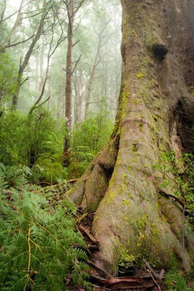 T12213 Eucalyptus regnans