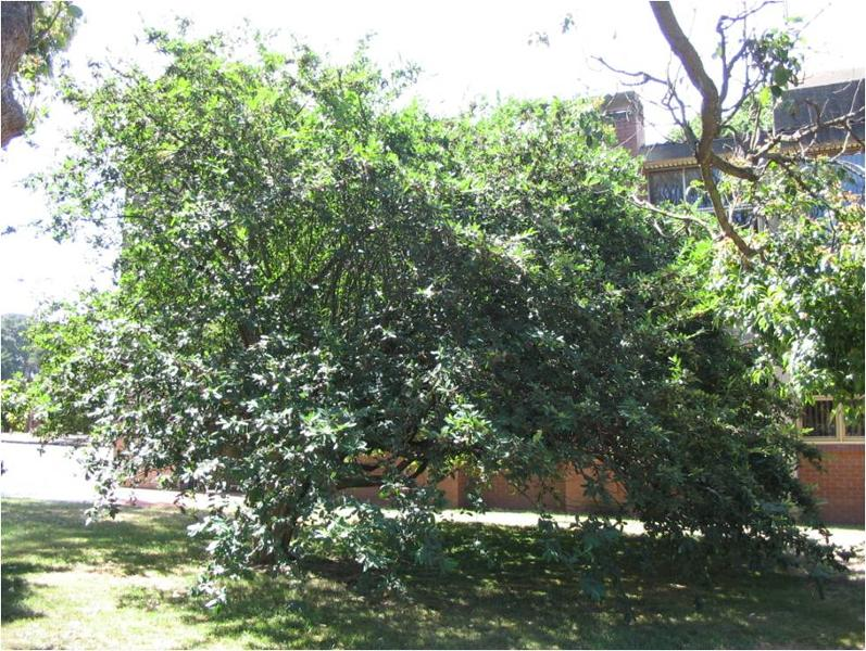 T12290 Cotoneaster affinis Lindl.