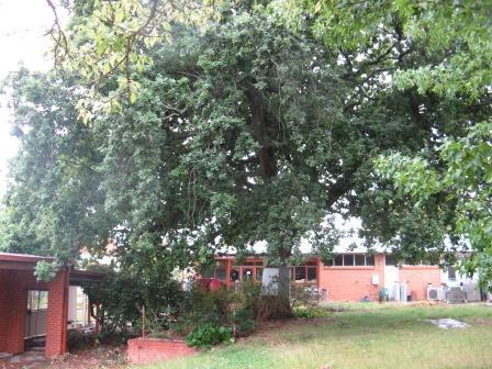Coronation oak