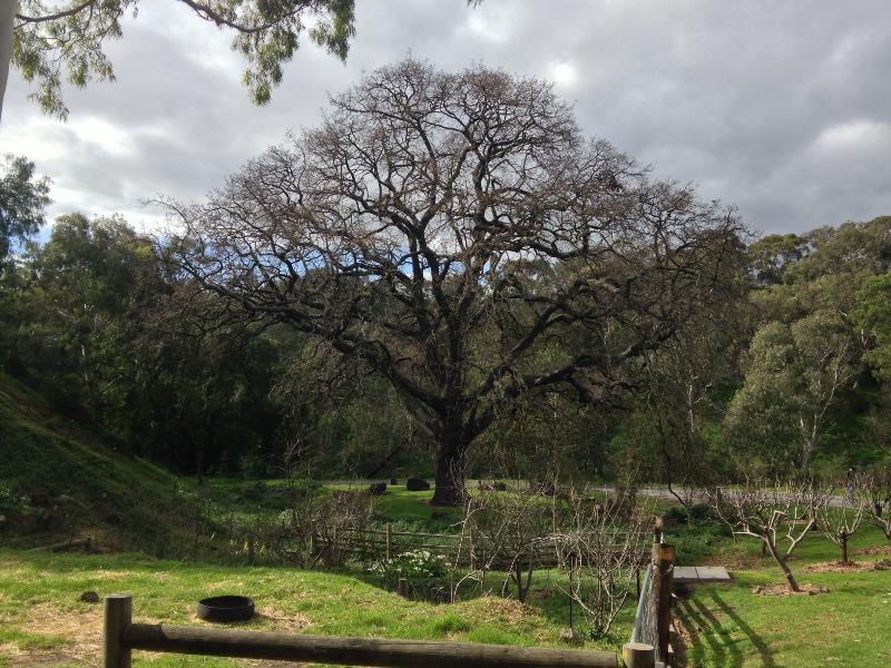 T12291 Quercus robur
