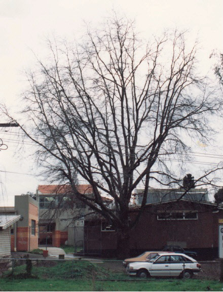 Pin Oak Tree at Eltham High School Ely St Colour - Shire of Eltham Heritage Study 1992